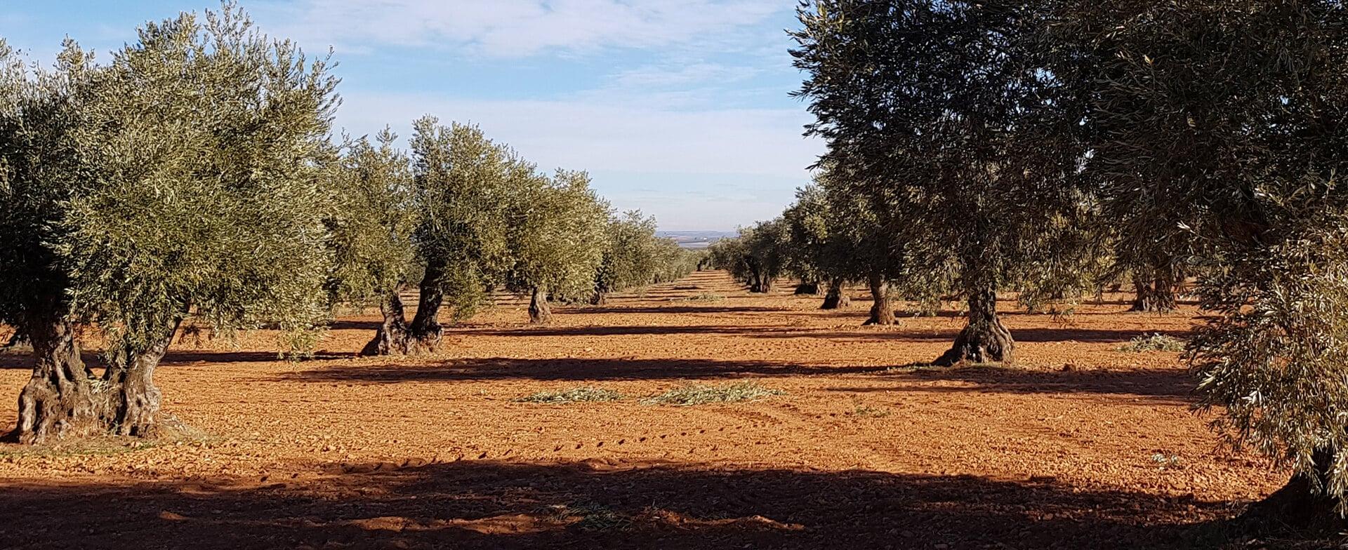 橄榄油的十大关键