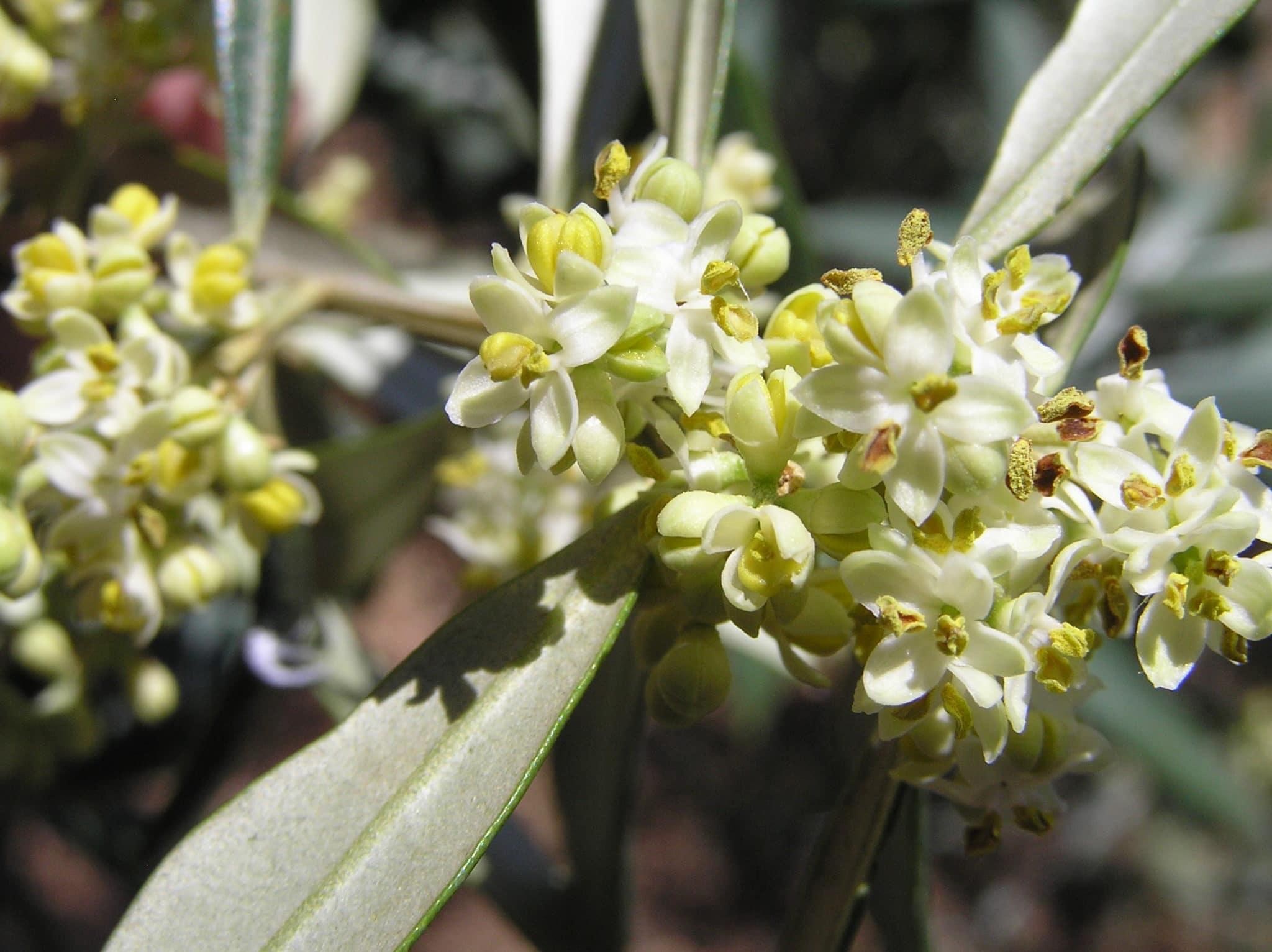 橄榄品种的重要性